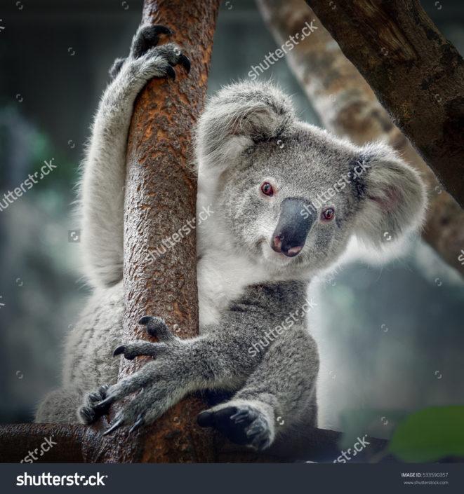 Фотообои с коалой