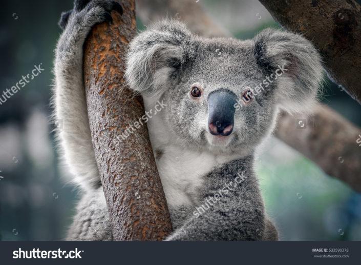 Фотообои с коалой на дереве