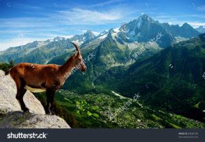 Фотообои с горным козлом