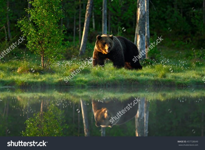 Фотообои медведь в лесу