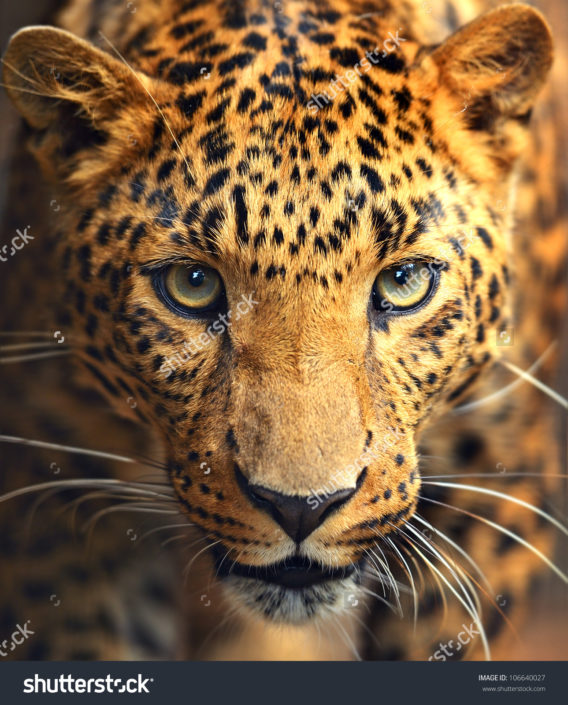 Фотообои с леопардом