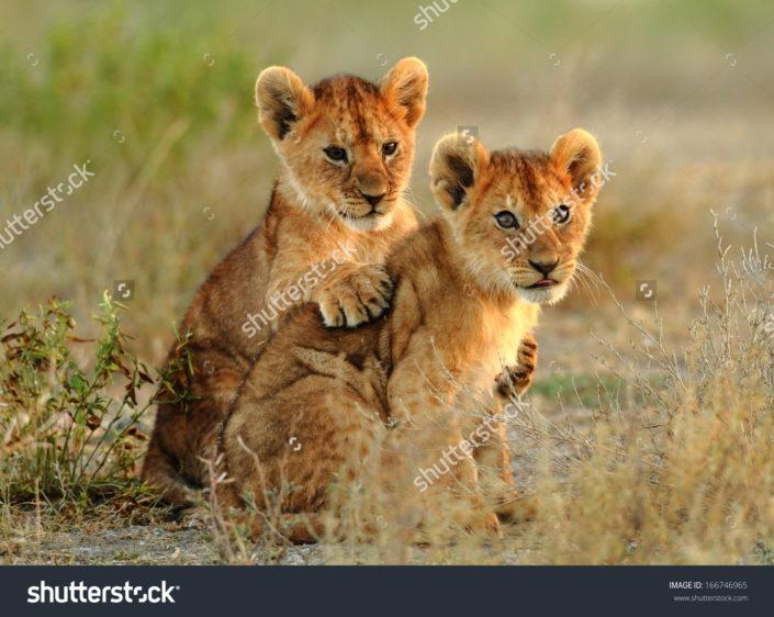 Фотообои со львятами