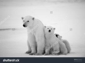 Фотообои с белыми медведями