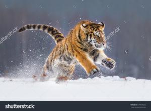 Фотообои тигр в снегу