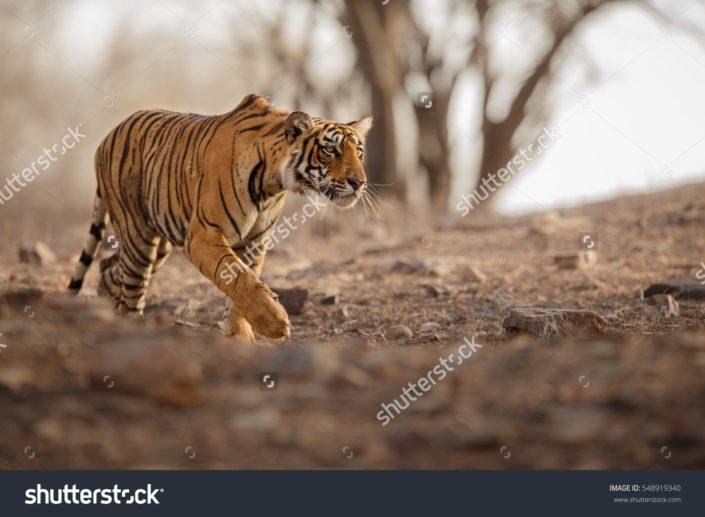 Фотообои с тигром
